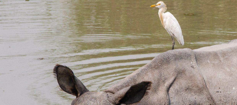 Cattle Egret and Rhino