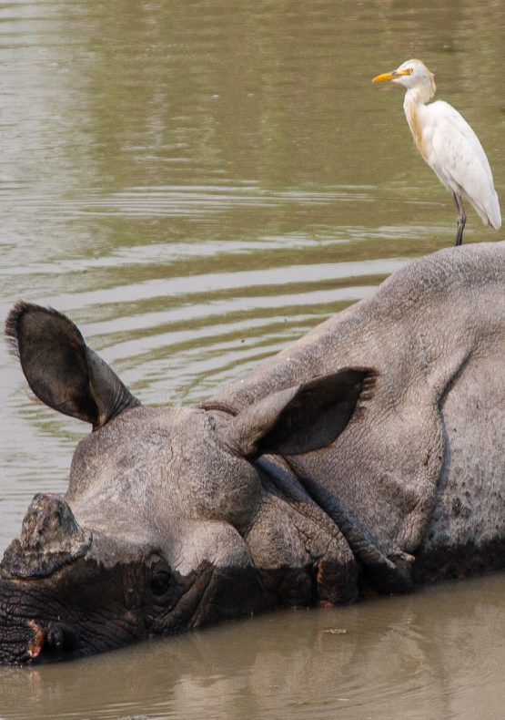 Cattle Egret and Rhino
