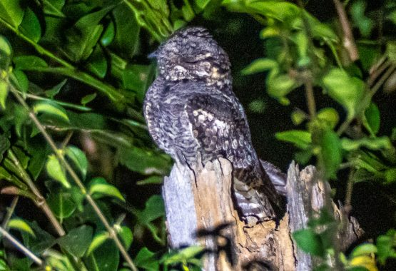 Indian Jungle Nightjar