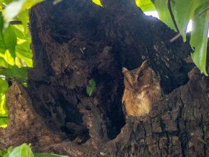 Indian Scops Owl