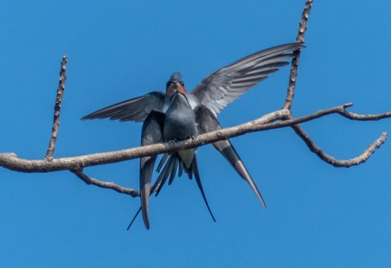 Mating Crested Treeswifts