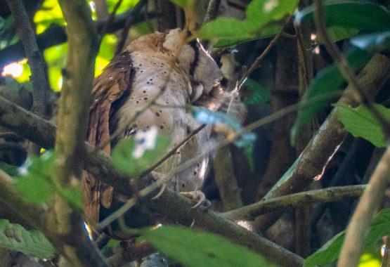 Sri Lanka Bay Owl