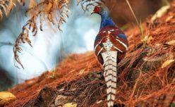 Mrs Hume's Pheasant