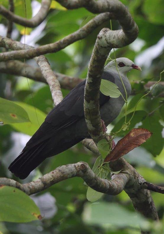 Andaman Wood Pigeon