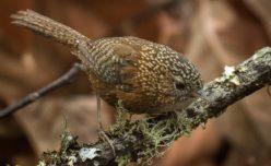 Bar-winged Wren-Babbler