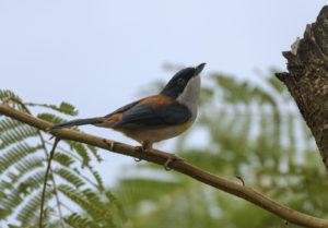 Black-headed Shrike-Babbler