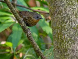 Rufous-throated Wren-Babbler