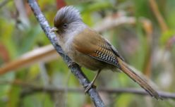 Rusty-fronted Barwing