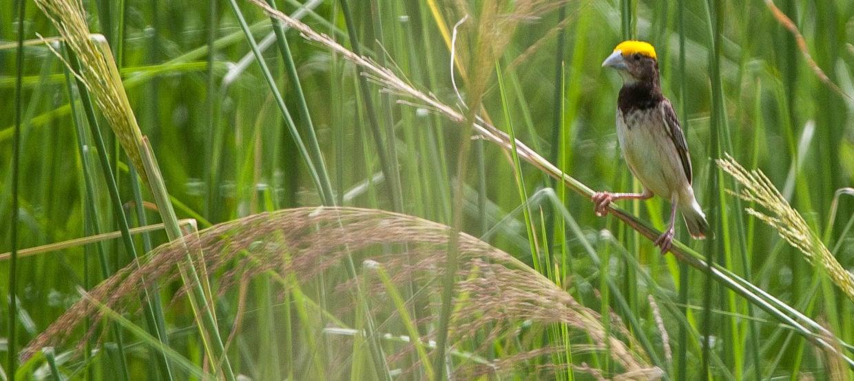 Black-breasted Weaver