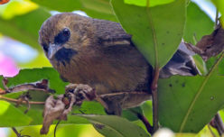 Black-chinned Babbler