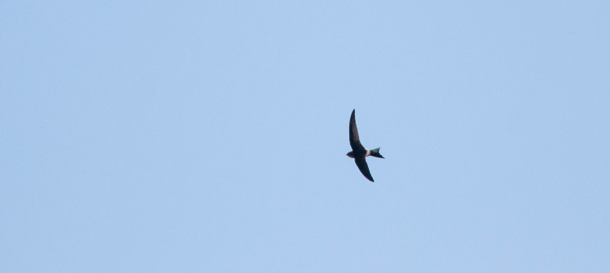 Blyth's Swift