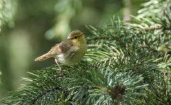 Brooks's Leaf Warbler