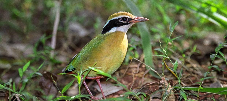 Indian Pitta