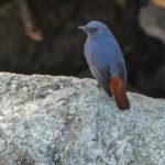 Plumbeous Water Redstart