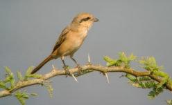 Rufous-tailed Shrike