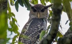 Spot-bellied Eagle-Owl