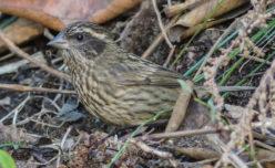 Spot-winged Rosefinch