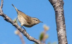 Tytler's Leaf Warbler
