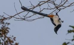 White-bellied Treepie
