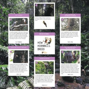 Brown Hornbill Breeding Cycle Poster