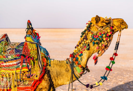 Colourful Camel of Kutch