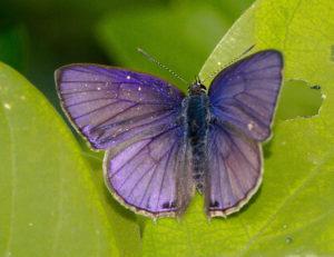 Common Ciliate Blue