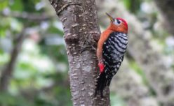 Rufous-bellied Woodpecker