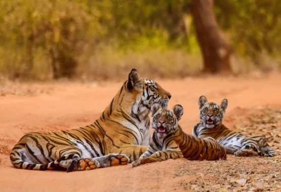 Tigers at Bandhavgarh