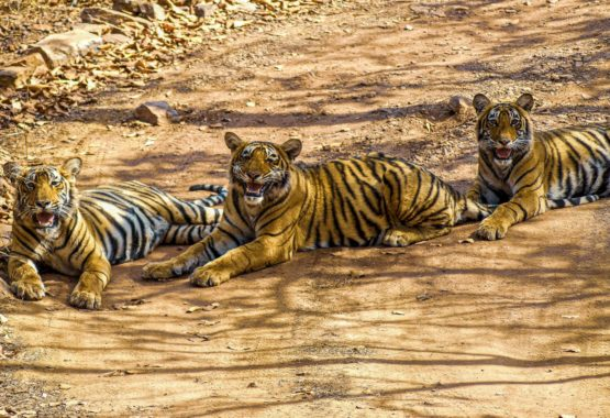 Tigers at Ranthambhore