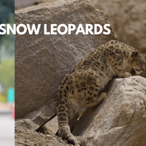 Run 24 for Snow Leopards