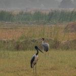 Black-necked Stork and Sarus Crane