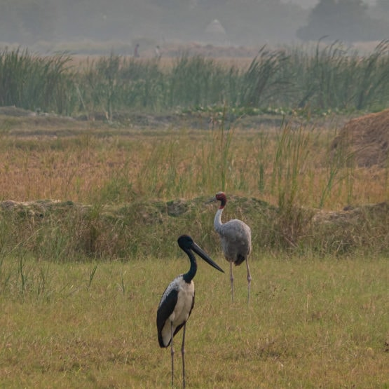 Black-necked Stork and Sarus Crane