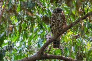 Brown Hawk-Owl