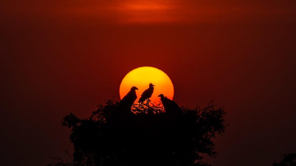 Steppe Eagle Egyptian Vulture and Eurasian Griffon