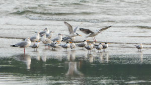 Brown-headed Gull and Terns