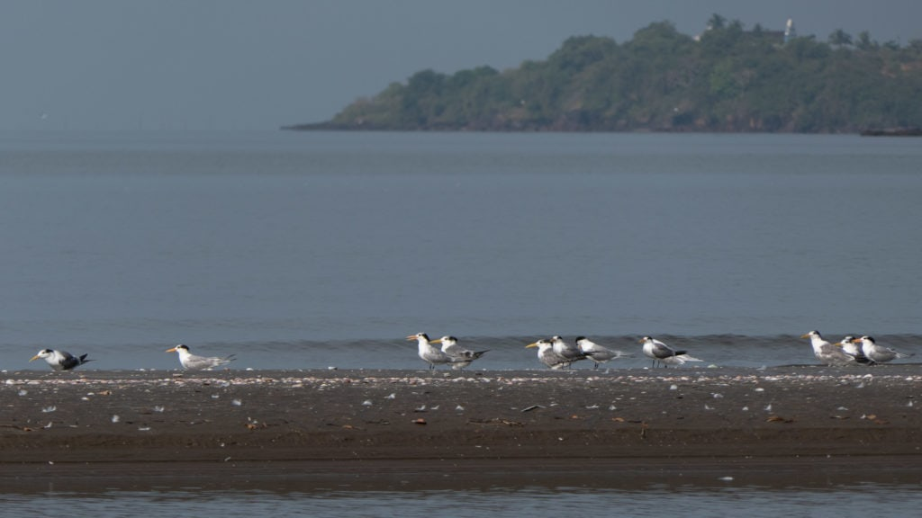 Lesser Crested and Great Crested Terns