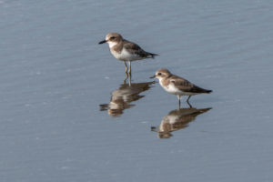 Lesser Sand Plover and Greater Sand Plover